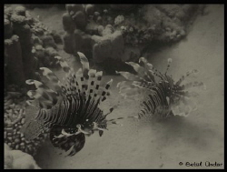 lion fish company @Fanadir. but guess they don't like me ... by Betül Ündar