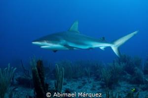 Caribbean Reef Shark by Abimael Márquez