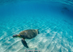Cheeky Boy. A male Green Turtle hurries away from a pair... by Nina Baxa