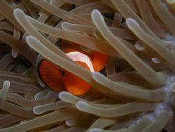 Finding Nemo Dive n Trek Anilao Batangas Olympus C7070 by Ernesto Yu