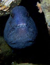 Young Wolf Eel in the Puget Sound by Steve Brown