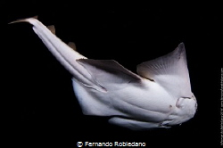 Angel Shark taken during a night dive in Gran Canaria by Fernando Robledano