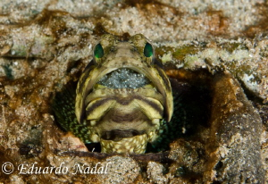 jawfish with eggs by Eduardo Nadal