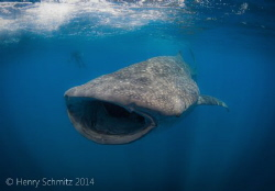 Baby in Blue. Came across this rather small whale shark w... by Henry Schmitz