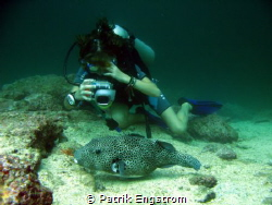 Diver and puffer fish by Patrik Engstrom