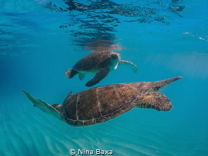 The Dance. A smaller male Green Turtle courting a potent... by Nina Baxa