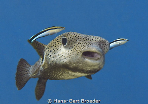 Porcupinefish Escort for the football worldcup champion ... by Hans-Gert Broeder