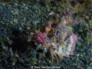 colored scorpioenfish by Marc Van Den Broeck