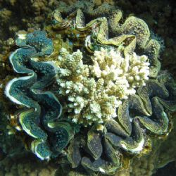 An interesting arrangement of clams! Ningaloo Reef, Weste... by Penny Murphy
