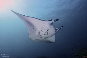 Manta Ray from Nusa Penida by Iyad Suleyman