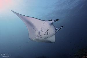 Manta Ray from Nusa Penida by Iyad Suleyman