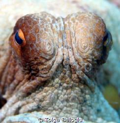 A curious octopus! by Tolga Baloglu