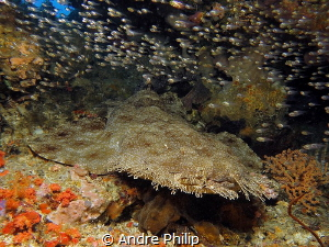 Flatman - a wobbegong in his resting place by Andre Philip