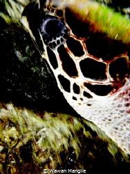 Sea turtle by Wawan Mangile