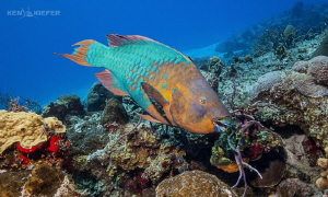 Huge Parrotfish on the reefs of Cozumel