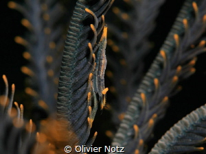Ambon Commensal Shrimp by Olivier Notz
