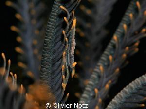 Ambon Commensal Shrimp by Olivier Notz