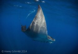 Had a chance to view this manta while freediving with wha... by Henry Schmitz