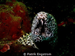 Honeycomb Moray eel by Patrik Engstrom