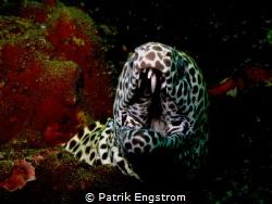 Honeycomb Moray eel by Patrik Engstrom
