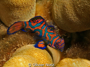 very shy mandarin fish by Olivier Notz
