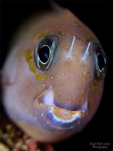 Blenny from Bali by Iyad Suleyman