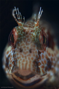 Blenny from Gulf of Oman by Iyad Suleyman
