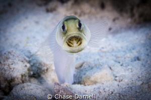 Jaw Fish digging session!  Little Cayman by Chase Darnell