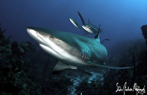 """Striking the Pose"" This Reef sharks seems to look as if ... by Steven Anderson"