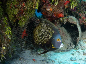 This French Angelfish looks for safe haven as the many sh... by Steven Anderson