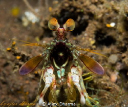 Mantis shrimp  Canon PowerShot S120 iso: 80 1/250s f8.0 ... by Ajiex Dharma