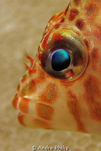 The colors of ocean in the eye of a small hawkfish by Andre Philip