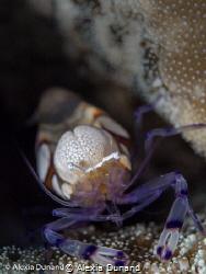 Popcorn shrimp Periclimenes brevicarpalis on adhesive ane... by Alexia Dunand