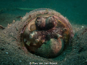 glass house in Lembeh with resident : coconut octopus by Marc Van Den Broeck
