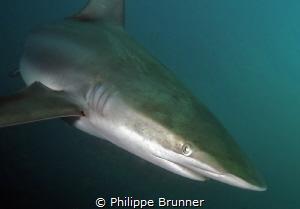 Shark by Philippe Brunner