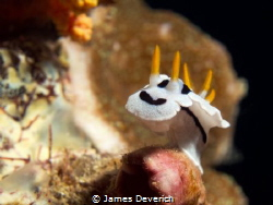 Chromodoris Dianae by James Deverich