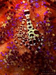 Coleman Shrimps. The carapace of the bigger shrimp deform... by Kf Leong