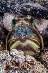 Banded Jawfish by Abimael Márquez