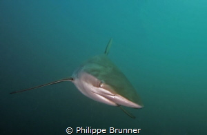 Dusky shark by Philippe Brunner