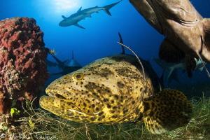 goliath grouper (Epinephelus itajara by Mathieu Foulquié
