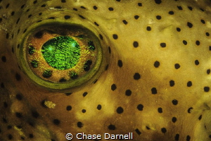 Porcupine Fish Eye Grand Cayman by Chase Darnell