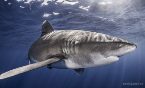 Oceanic Whitetip Closeup    near Cat Island, Bahamas Can... by Ken Kiefer