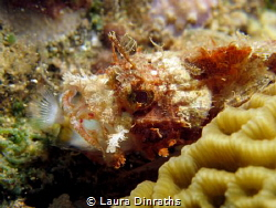 A tiny scorpionfish with dinner in its mouth, macro lens by Laura Dinraths