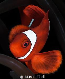 SpineCheek Anemone Fish, Male Portrait by Marco Fierli