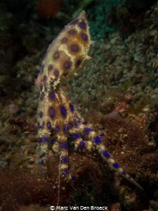 blue ring octopus in Lembeh by Marc Van Den Broeck