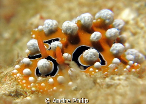 Phyllidia ocellata by Andre Philip