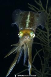 Caribbean Reef Squid consuming a Chromis Reef fish by Henrietta Honnor Passos