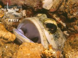 Jawfish in burrow 