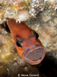 Male cardinal fish Apogon imberbis rotating the egg mass.... by Alexia Dunand