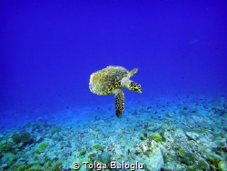 A little turtle emerges from the blue by Tolga Baloglu